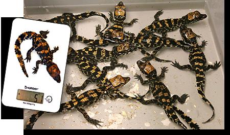 Naissance crocodiles nains